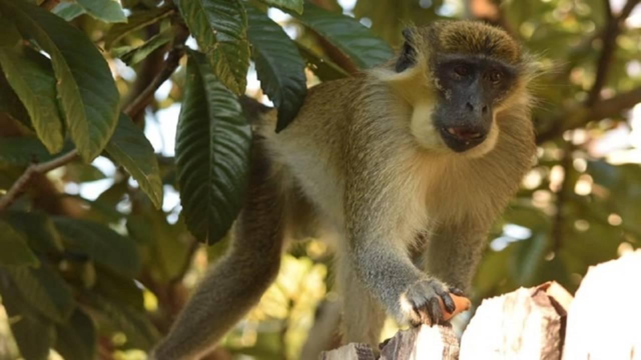 Mikey the monkey