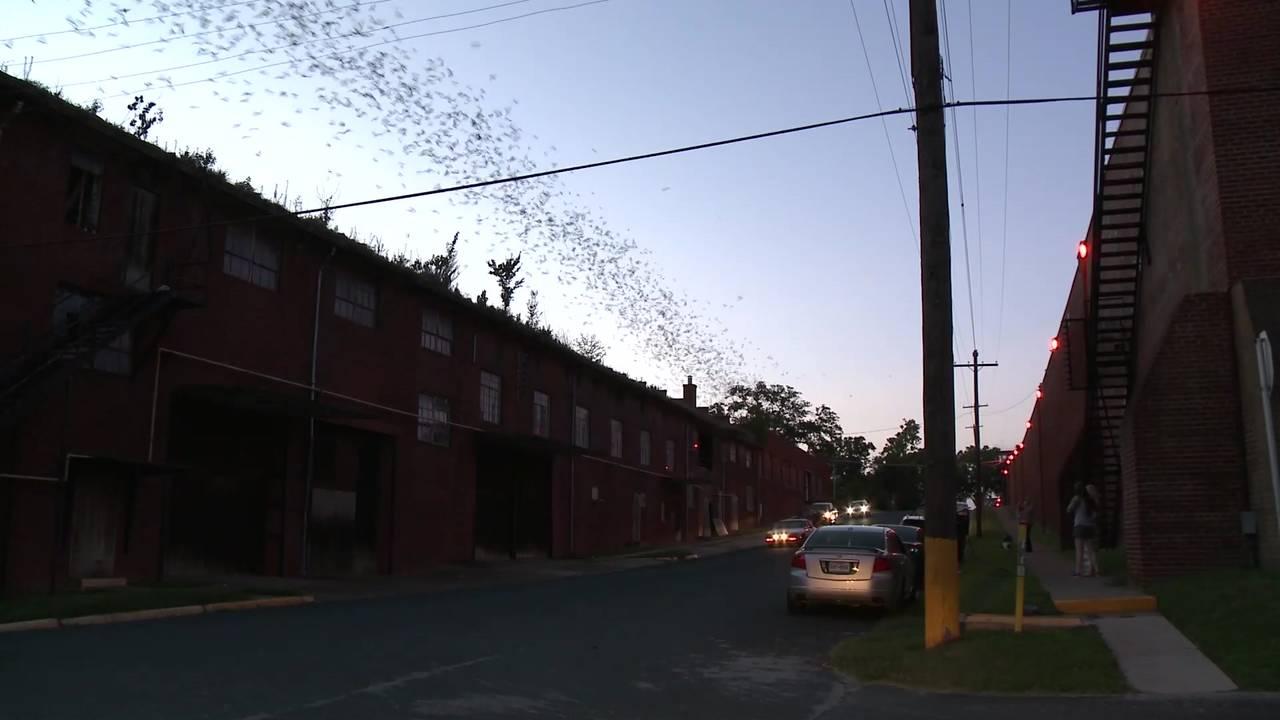 TDCJ Bat Video flying down street