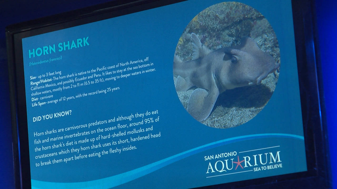 Horn Shark photo from San Antonio Aquarium