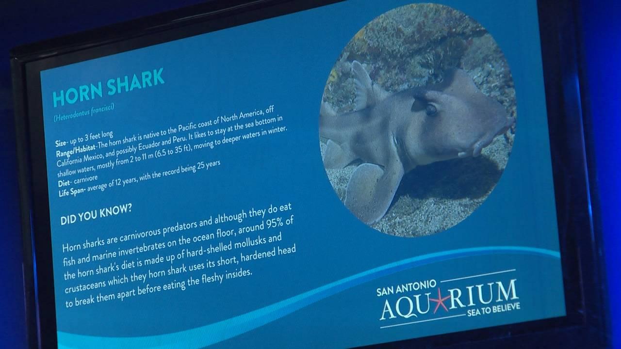 Horn Shark photo from San Antonio Aquarium