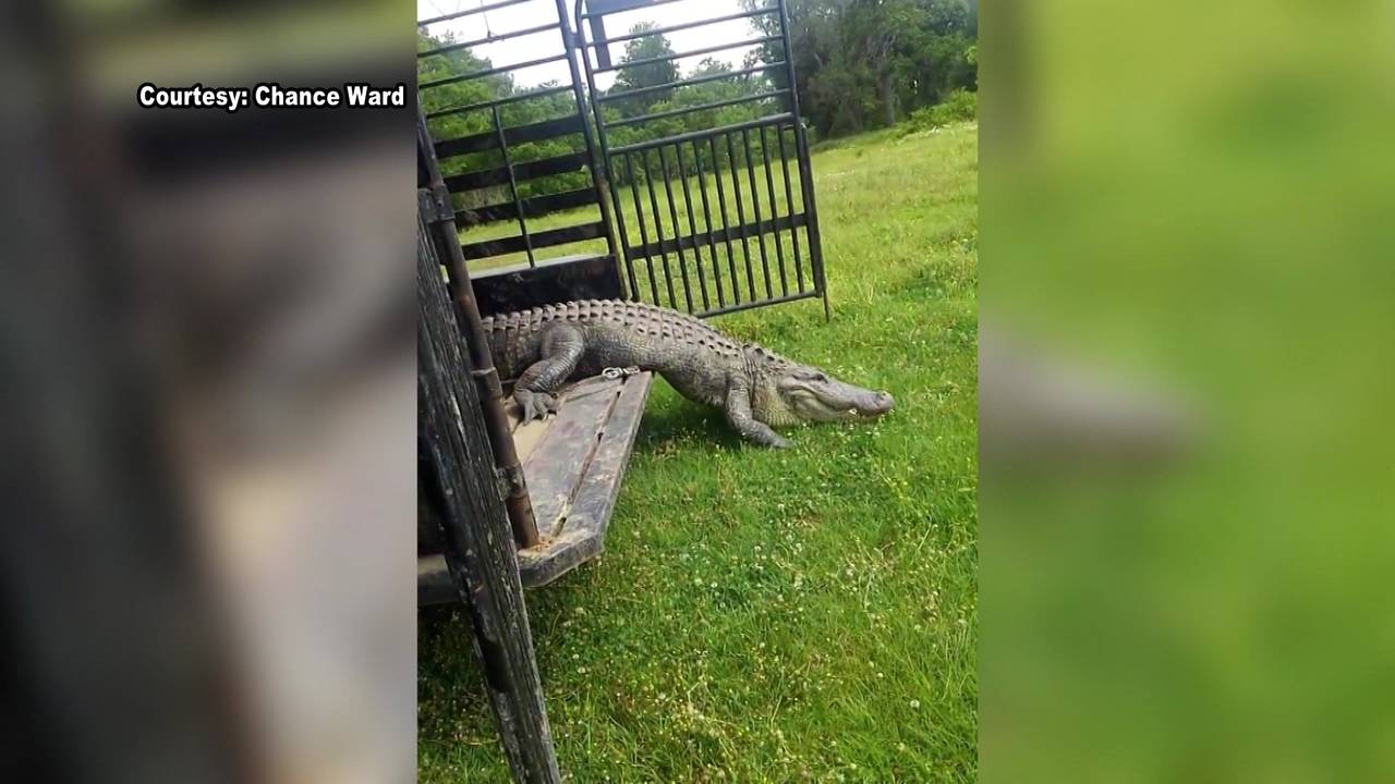 George the gator being released 4-30-18