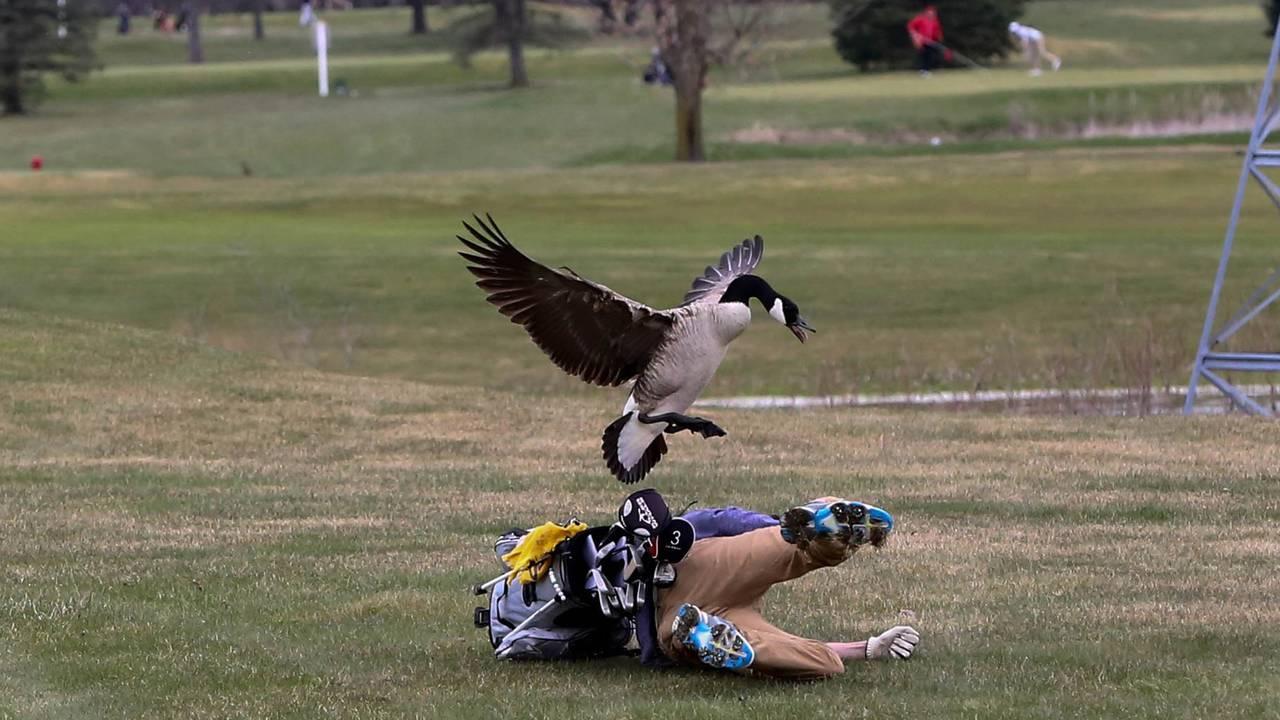 Golfer attacked by Goose 2.jpg29844274