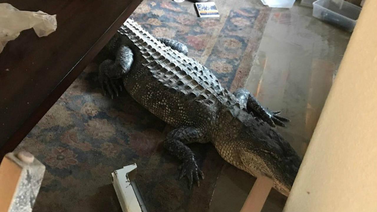 alligator-in-house-090117.jpg