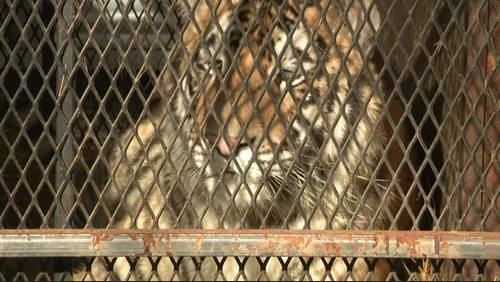 Tiger found by pot smoker in abandoned Houston home taken to Texas ranch