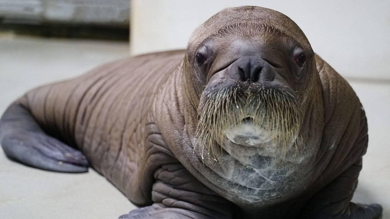 baby-walrus-seaworld-3_1562948305616.jpg