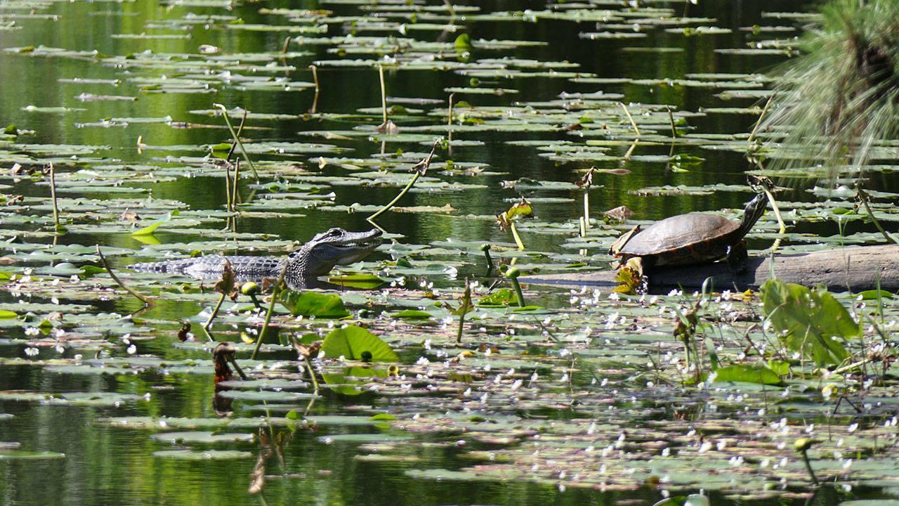 Small gator in Houston Arboretum pond