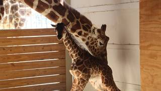 April the giraffe ready to give birth again: Where to watch the live&hellip&#x3b;