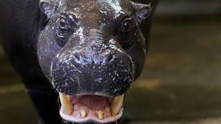Zoo gets 'hippopotamus for Christmas'