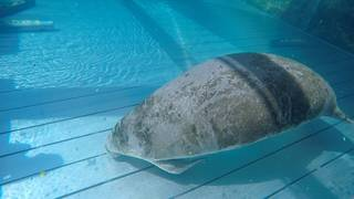 Jacksonville zoo working to save 'critically' sick manatee