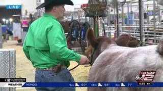 KSAT 12's Josh Skurnik shows what's going on at the cattle barn on Feb. 16