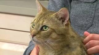 Pet of the Week: Meet Dennis, the Cat