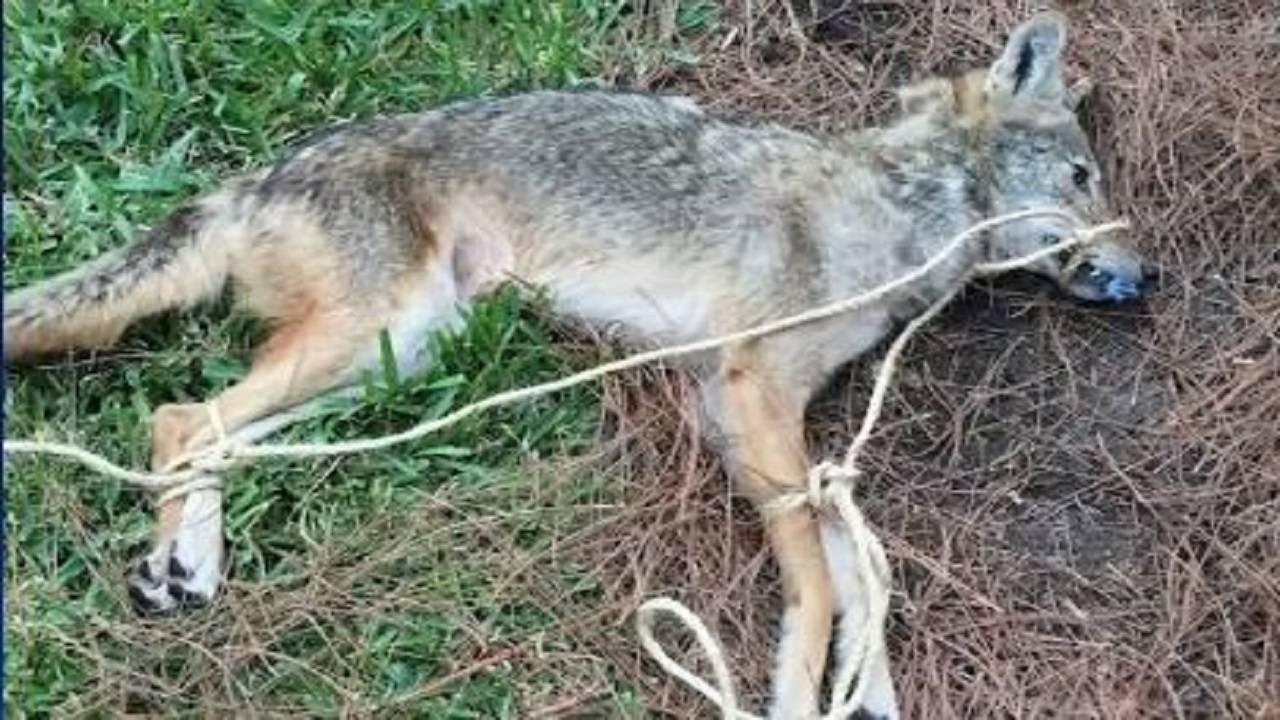 Coyote rabid Kissimmee