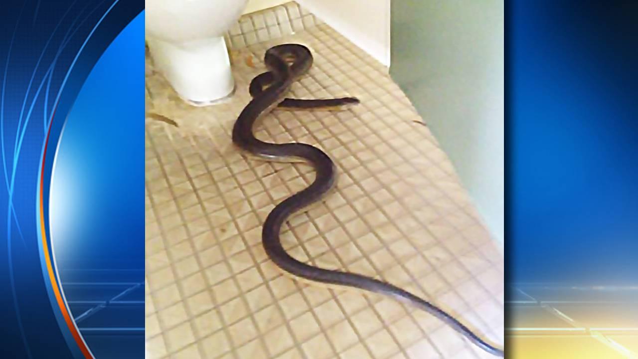 Snake in Toilet Australia