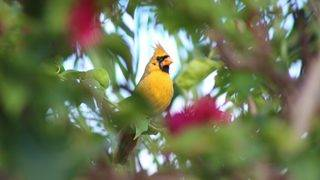 'One in a million' yellow cardinal spotted in Florida