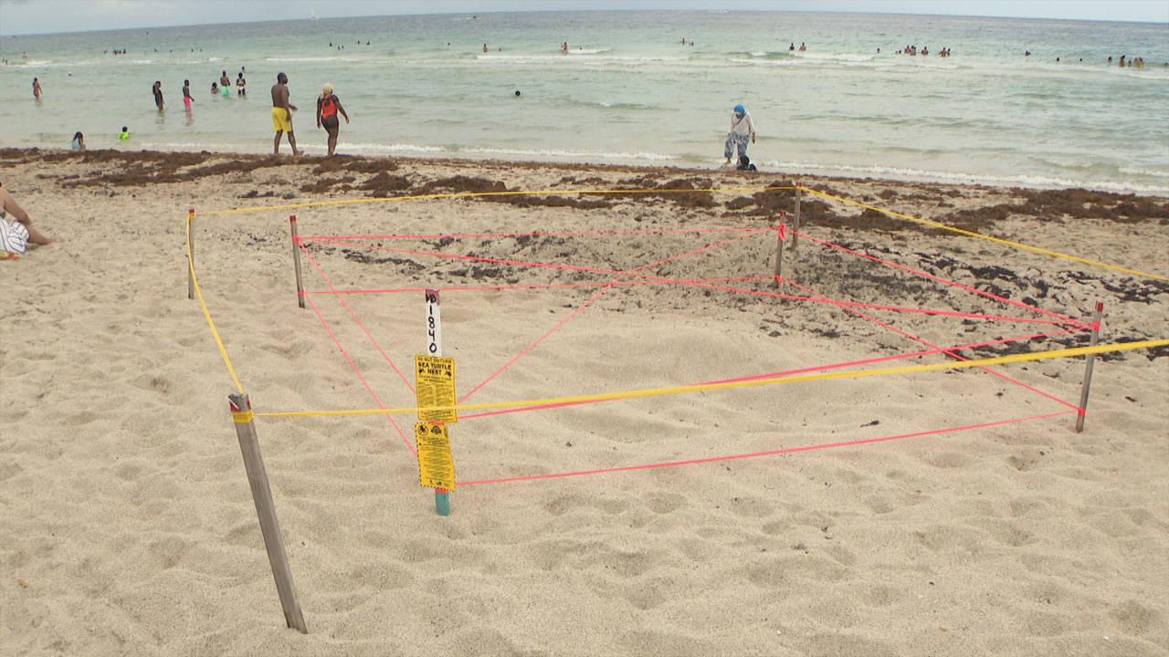 Miami Beach Turtle Nest Disturbed_1560633983296.jpg.jpg