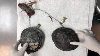 1 turtle returned to wild after pair found chained together in Miami Beach