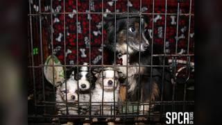 72 dogs taken from puppy mill in Van Zandt County, SPCA says