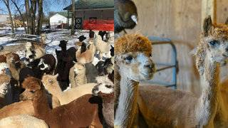 Michigan's alpacas transform from winter to summer coat during farm spa day