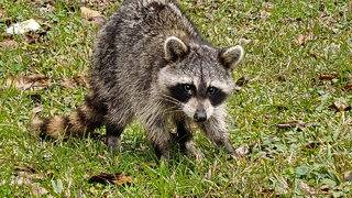 Sick raccoon leads reporter down a rabbit hole