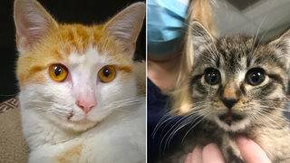 2 cats thrown from cars need your help at Clay Humane