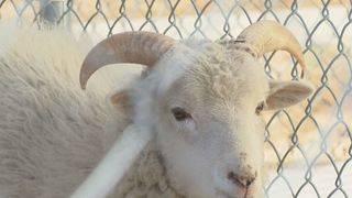 Ram on the lam: Stray ram captured in Danville