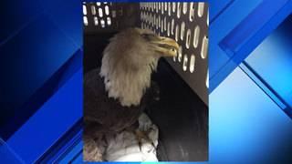 BEAKS treats injured bald eagle
