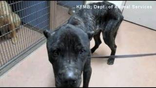 Mistreated dog 'Bruno' recovering