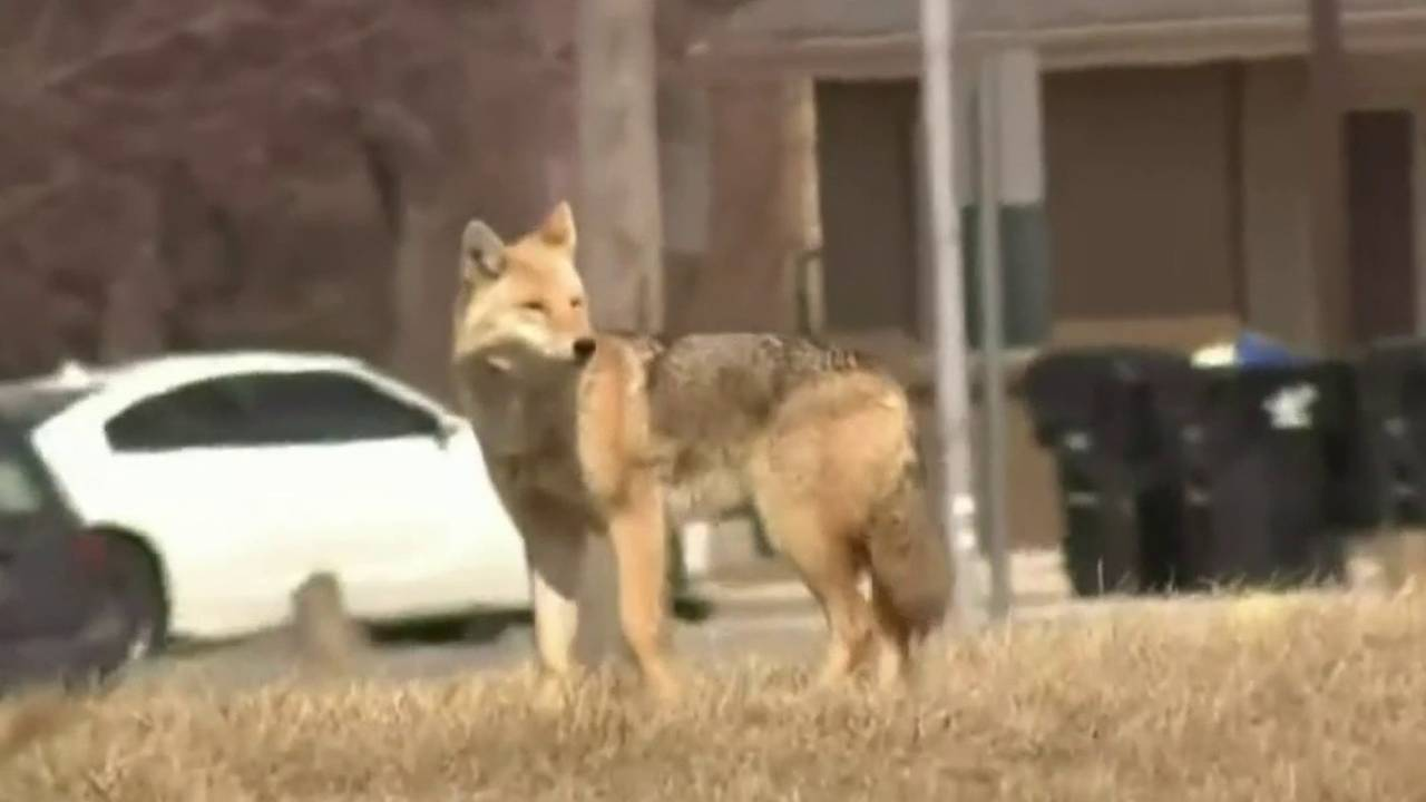 Learning to live with coyotes in Sterling Heights (1)_1570702996833.jpg.jpg