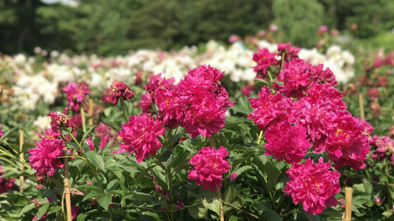 Ann Arbor peonies pink white