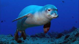 Hawaiian seals are getting eels stuck up their noses