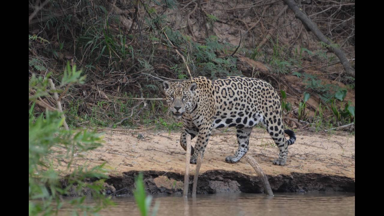 Other jaguar 3_1570414374168.jpg.jpg