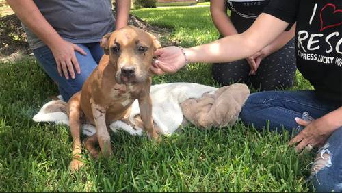 Puppy thrown from moving SUV in Cypress