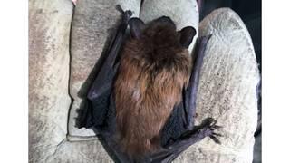 Man bitten by rabid bat hiding between iPad and case