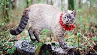 New collar could prevent outdoor cats from killing birds