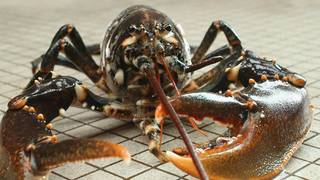 Fishmonger wants to calm lobsters with pot before the pot