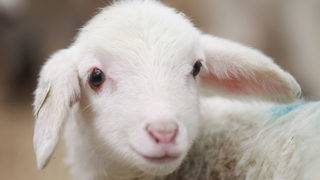 Lambs born from world's oldest stored semen
