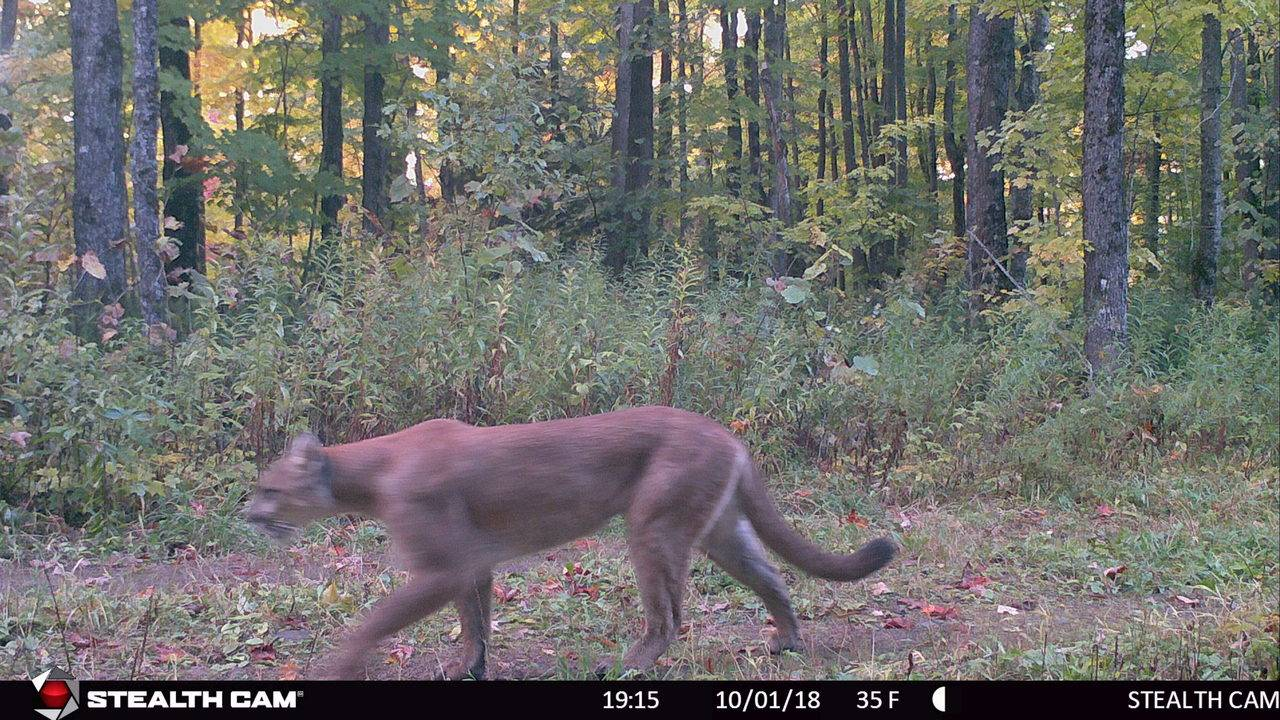 local cougars near me