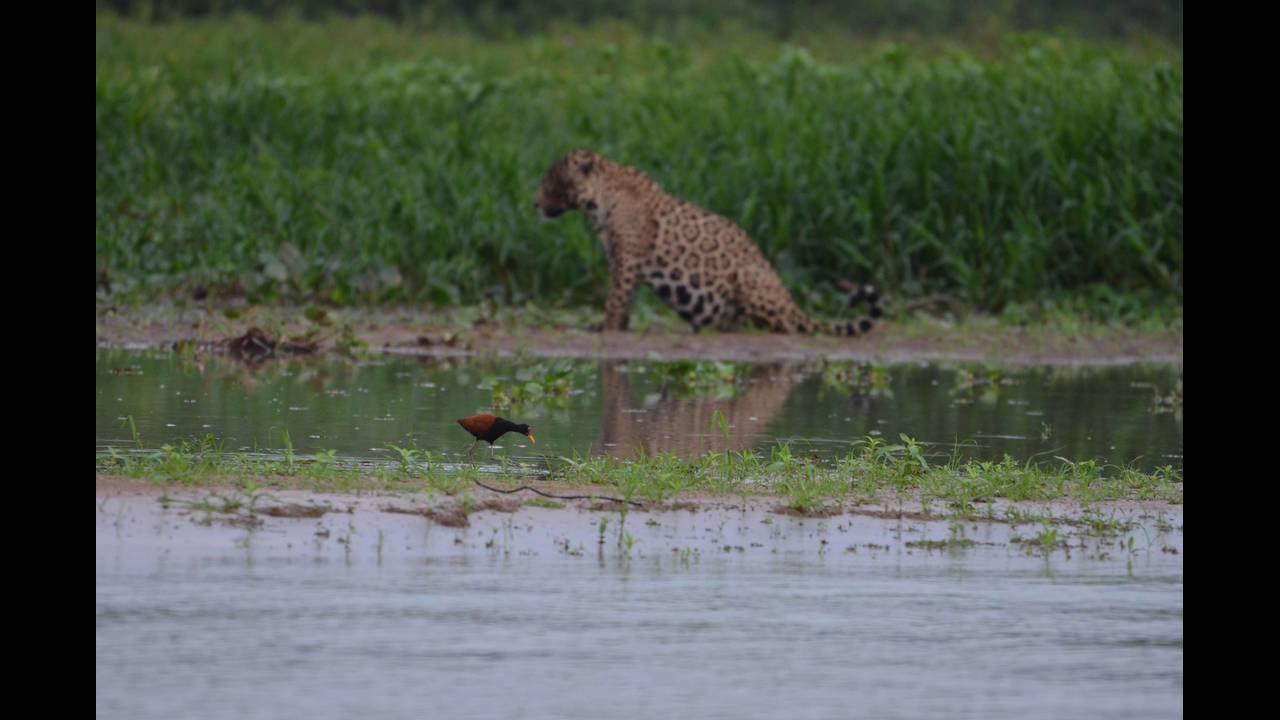 Pregnant jaguar and bird_1570414497197.jpg.jpg