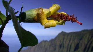 Hawaiian flower, thought extinct, rediscovered by a drone