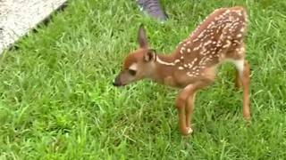 Wildlife center warns not to approach unattended fawns