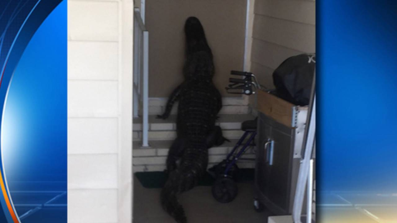 Florida Man Finds Large Alligator At Front Door