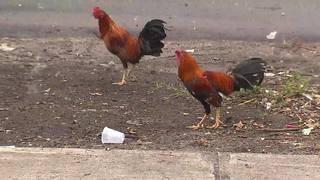 Wild chicken invasion ruffles South Florida city