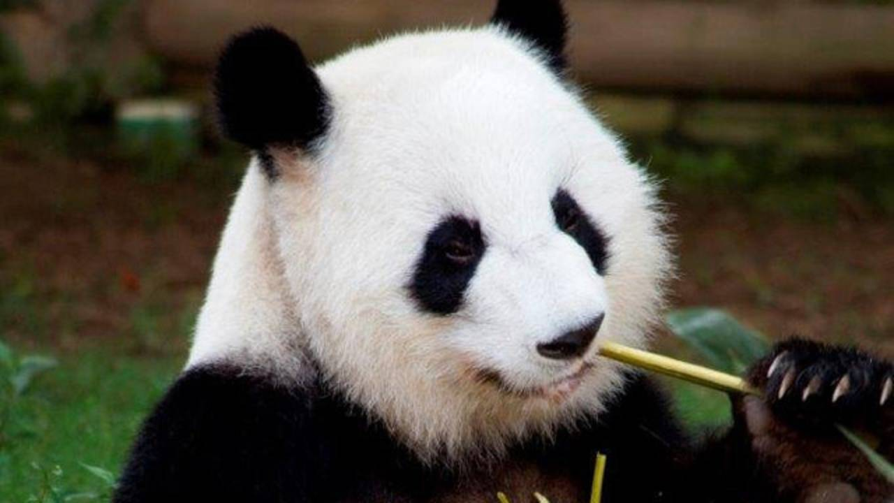 Lun Lun panda_1471996666942-75042528.jpg15669310