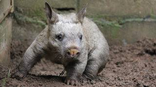 Scientists finally discover why wombat poop is cubed