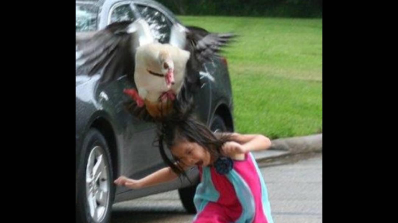 goose attacks girl_1462367577797.PNG