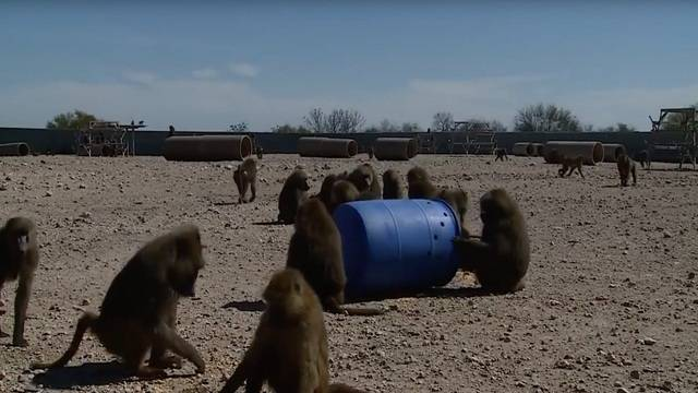 Peta Responds To Baboon Escape Points To Primate Deaths At