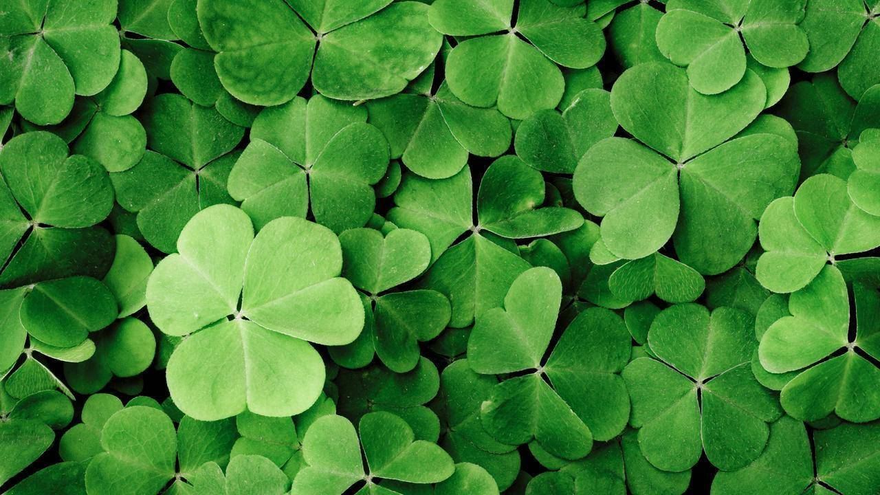 Virginia Girl 10 Sets Record For 4 Leaf Clover Hunting