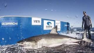 Great white shark Hilton pings off Florida coast