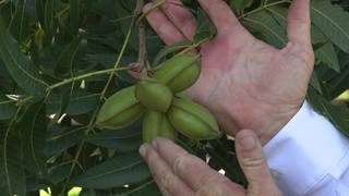 Growers concerned tariffs may ruin China's appetite for Texas pecans