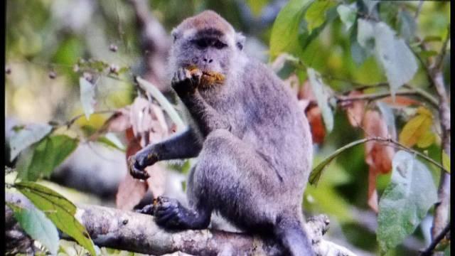 monkey borneo 3_1512754421195.jpg